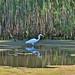 Egret - Yuba River wetlands