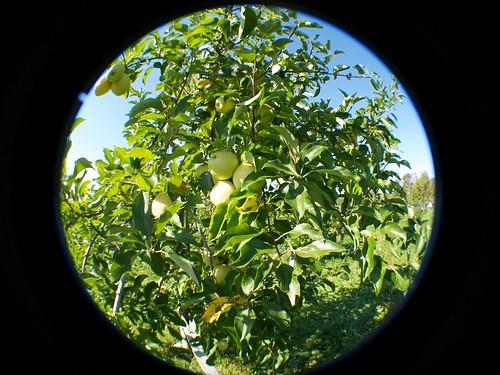 ny fall apple leaves orchard warwick