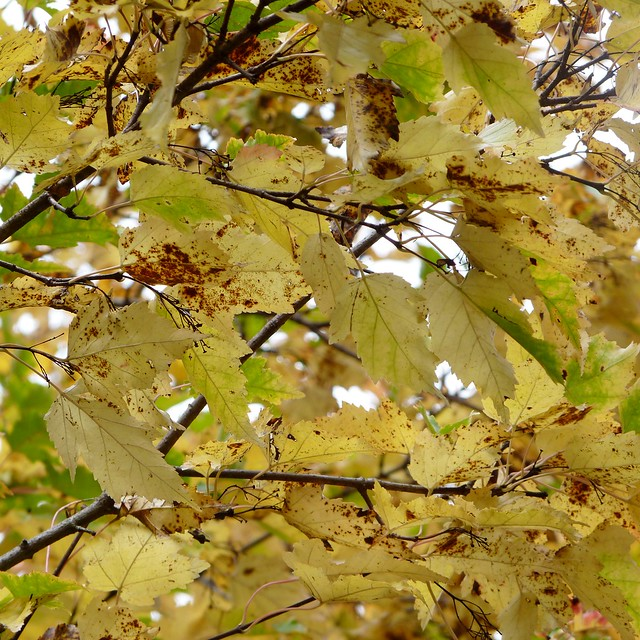 Pale yellow leaves