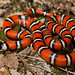 California Mountain Kingsnake - Photo (c) Natalie McNear, some rights reserved (CC BY-NC)