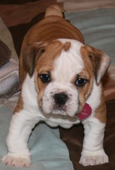 Layla, English Bulldog Puppy