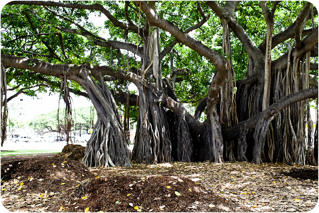 giant banyan tree in wakiki honolulu oahu hawaii