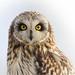 Short eared - owl