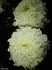 2011 士林官邸菊展 越山(白)