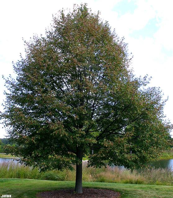 greenspire linden tree related keywords greenspire