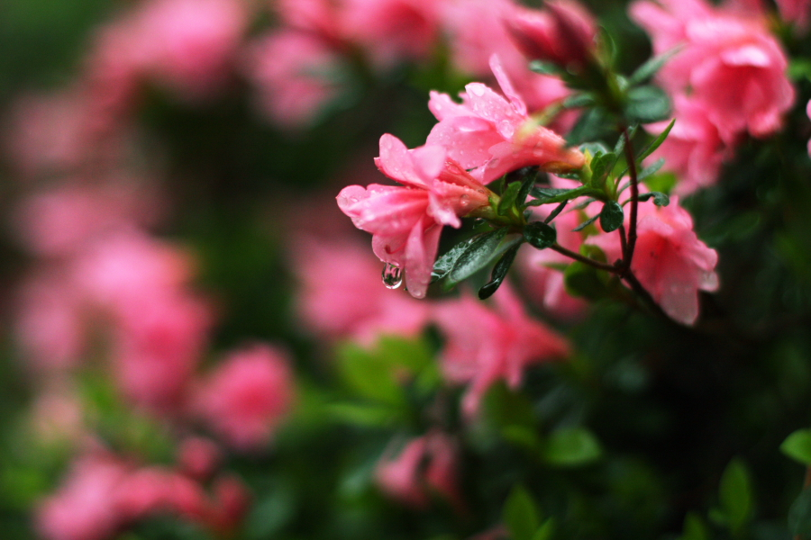 azaleas_with_water_droplet