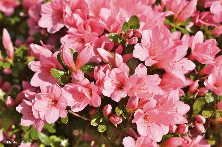 Bright pink azaleas, by Elizabeth Ruffing