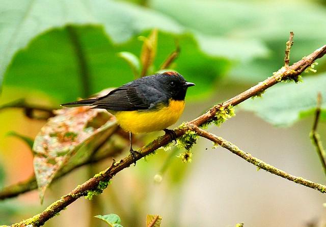 birds of ecuador field guide