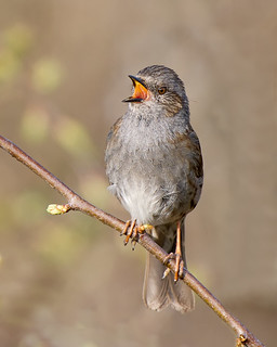 Dunnock Song