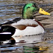 Wet Duck by Canon50D1