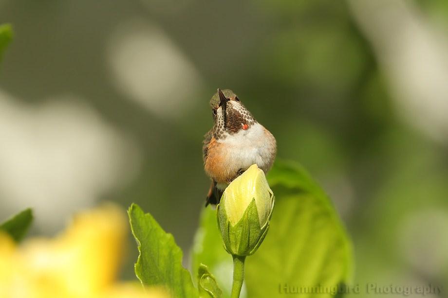 Allen's Hummingbird 101101-2