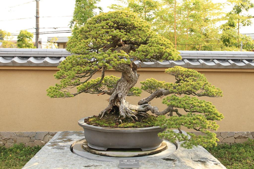 "五葉松 千代の松 Goyo-matsu ""Chiyo-no-matsu"" (Japanese Five Needle Pine) - 盆栽美術館 - bonsai museum"