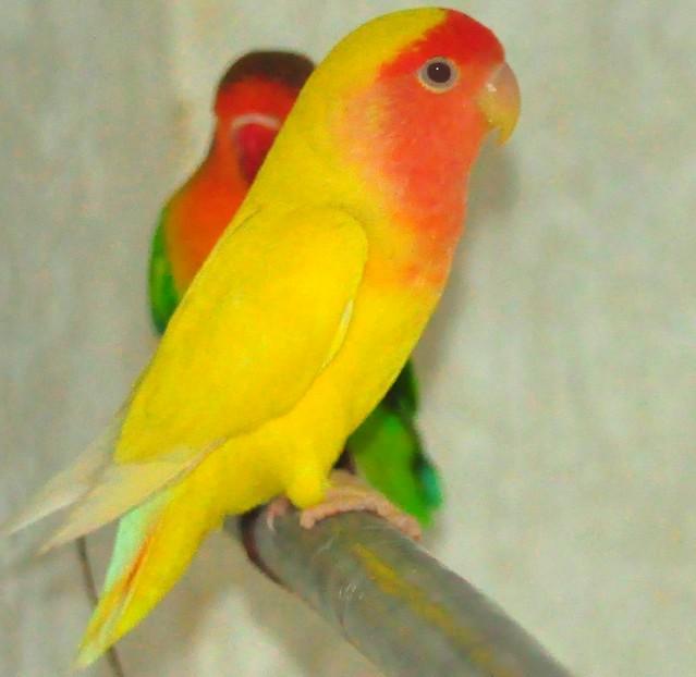 Lutino Lovebird | Flic...