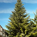 Noble Fir - Photo (c) Juan de la Cruz Moreno Balboa, some rights reserved (CC BY-NC-ND)