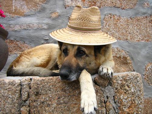 pastor alemán relajado-german shepherd relaxed