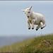 jumping lamb by Maximus_onfire