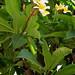 Flores de Juchitán por fernandodelatorre46