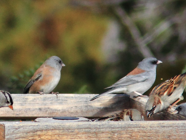 Pink-sided and Gray-headed Juncos 20111114