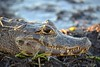 "<a href=""http://www.flickr.com/photos/luisalmota/6375964445/"">Photo of Caiman yacare by Luísa Mota</a>"
