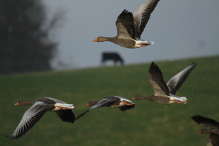 Greylag Movement