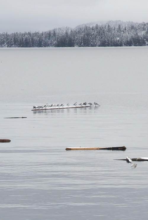 logs and seagulls, Kasaan Bay, Alaska