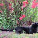 Mr. Midnight under the flowering quince