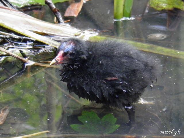 Moorhen Chick 1