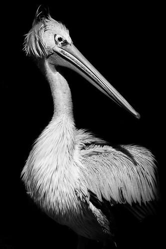 pelican b&w