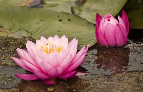 Pink Lilies Emerging - Copyright R.Weal 2011