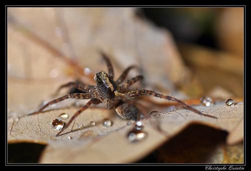 Pardosa sp. groupe lugubris