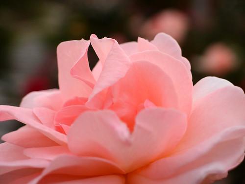 Rose Little Princess バラ リトル プリンセス