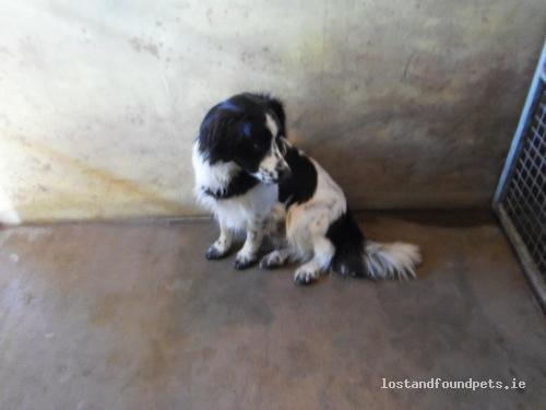 [Surrendered to Rescue] Fri, Nov 4th, 2011 Found Male Dog - Ballyjamesduff, Dog Pound, Crossdoney, Cavan