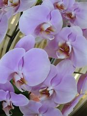 blossom(0.0), cattleya labiata(0.0), cattleya trianae(0.0), pink(0.0), flower(1.0), purple(1.0), plant(1.0), lilac(1.0), phalaenopsis equestris(1.0), flora(1.0), moth orchid(1.0), dendrobium(1.0), petal(1.0),
