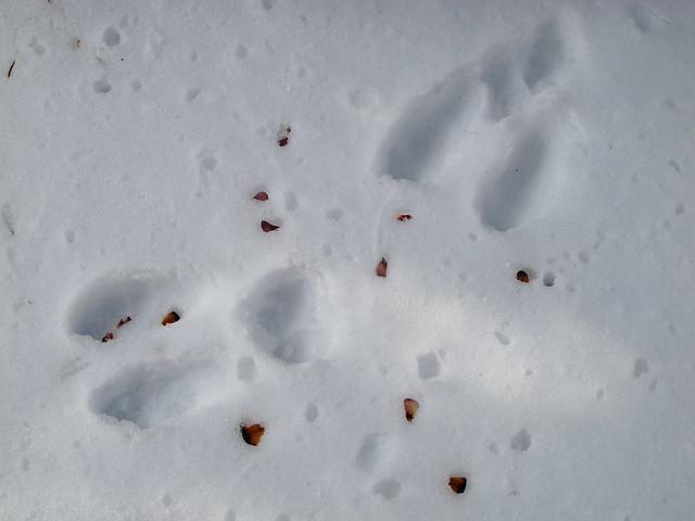 Snowshoe Hare Footprint