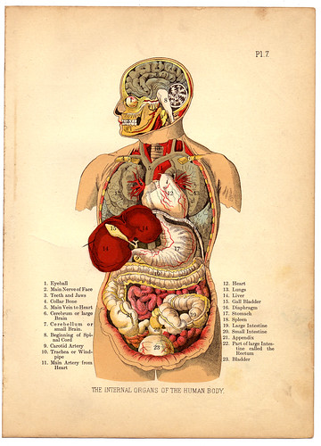 Internal Organs of the Human Body from The Household Physician, 1905