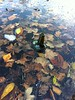 Bottle bobbing in autumn leaves