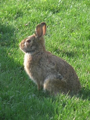 Spring Bunny 001