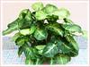 Syngonium podophyllum (Goosefoot Plant, Arrowhead Vine/Plant, Nephthytis, Five-fingers, African/American Evergreen)