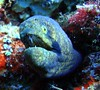 Black Cheek moray