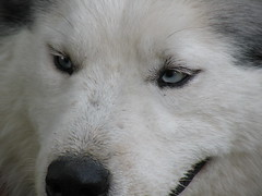 dog breed, animal, canis lupus tundrarum, dog, siberian husky, pet, canadian eskimo dog, greenland dog, korean jindo dog, wolfdog, close-up, alaskan malamute, sled dog, carnivoran,