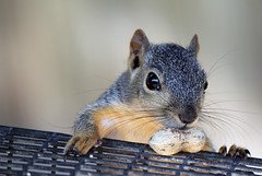 wildlife(0.0), animal(1.0), squirrel(1.0), fox squirrel(1.0), rodent(1.0), mouse(1.0), fauna(1.0), close-up(1.0), degu(1.0), whiskers(1.0),