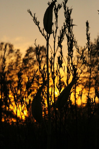 sun october silhouettes prairie milkweed asclepiashirtella eriesandbarrensstatenaturepreserve 27fruit