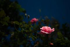 Pink Rose (Matsudo, Chiba, Japan)