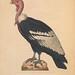 Nouveau recueil de planches coloriées d'oiseaux v.1.