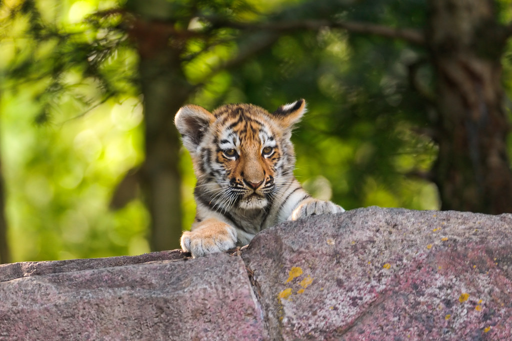 Cub looking over the cliff