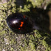 Heather ladybird (Chilocorus bipustulatus)