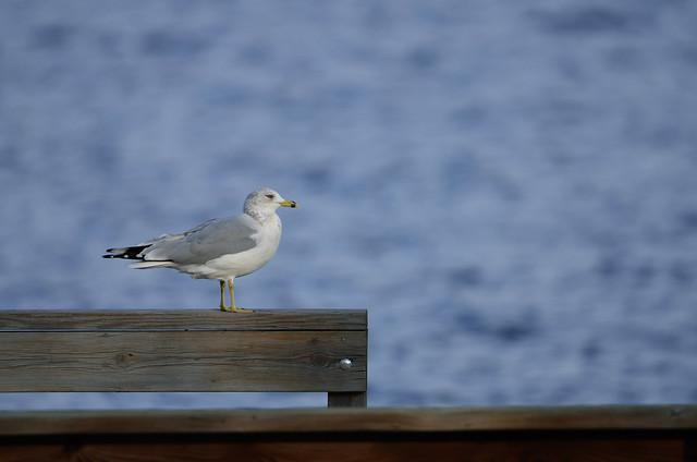 Ring-billed Gull DSC_7930