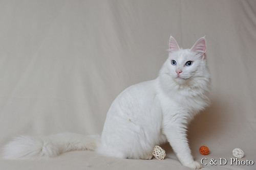Daly, Turkish Angora white with blue eyes