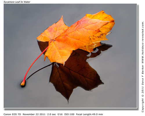 Sycamore Leaf In Water Chorley Lancashire by Just Daves Photos