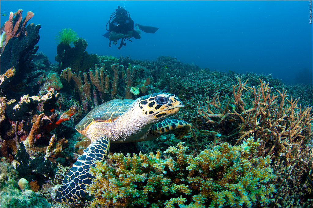 Hawksbill turtle while scuba-diving Lankayan Island